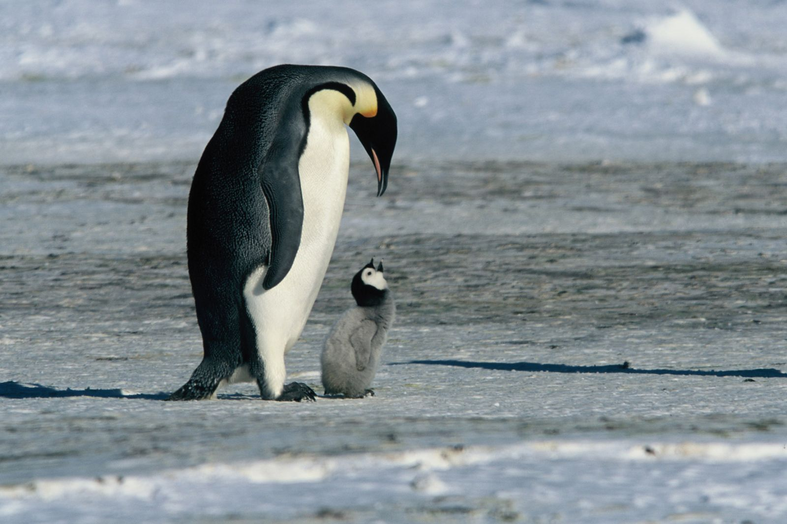 Film still from The March of the Penguins (France 2005, directed by Luc Jacquet): A penguin and a penguin chick in an ice landscape
